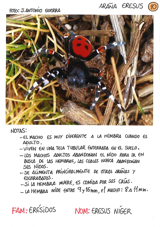 3-Araña Eresus