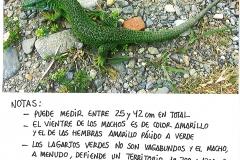 7-Lagarto Verde